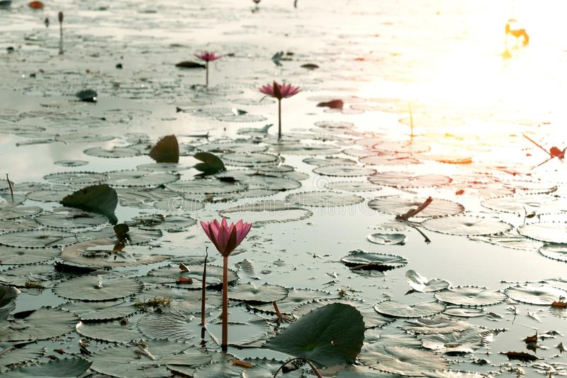 Pink lotus flower in pond at sunrise, peaceful in nature stock photo