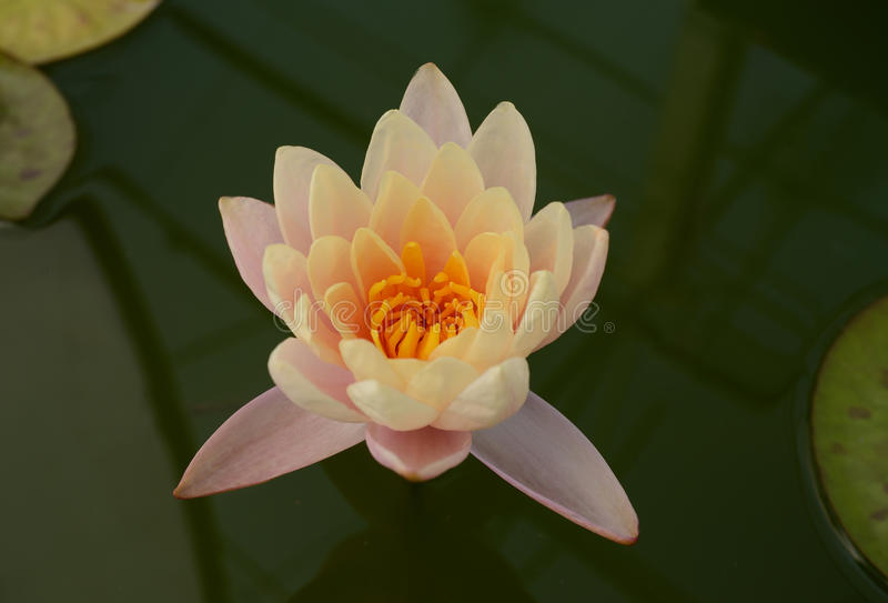 Pink lotus flower,Sweet Pink waterlily. Sweet little pink lotus flower stock image