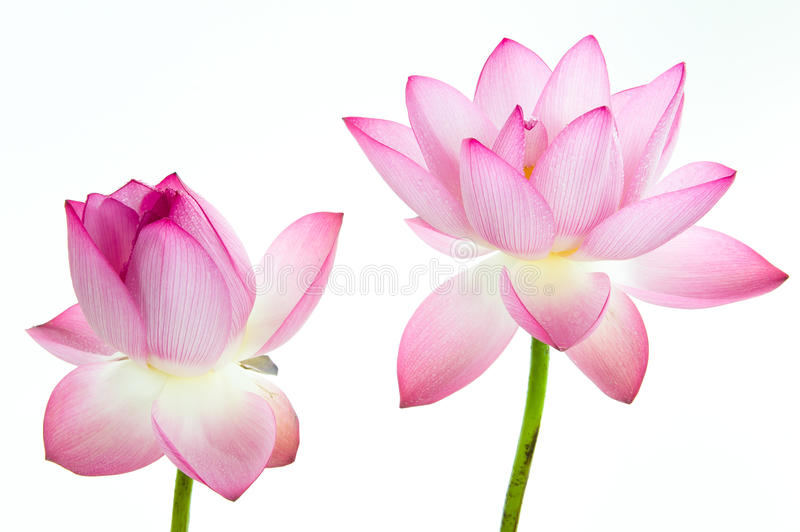 Pink lotus flower and white background.