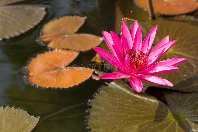 Pink lotus flowers bloom in the river. royalty free stock photos