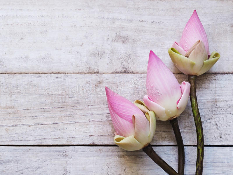 Pink lotus flowers on blue wooden table. royalty free stock photography
