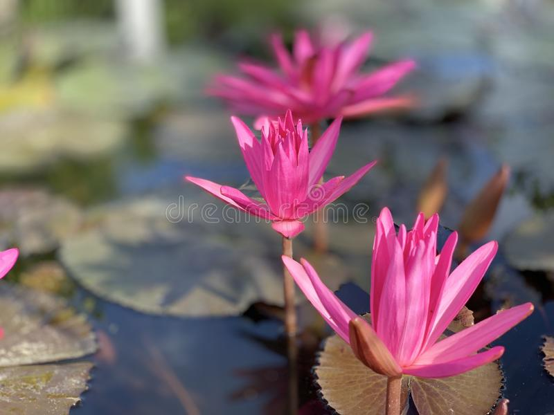Pink lotus flowers are used to offer monks. Or used to decorate in a vase royalty free stock photo