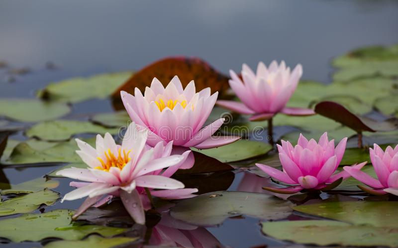 Pink lotus flowers , waterlily closeup stock images