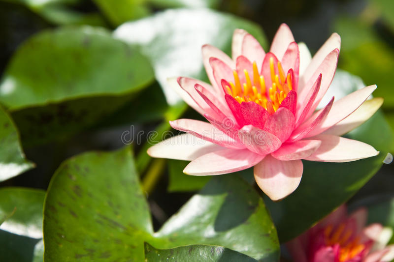 Pink Lotus in the garden royalty free stock photography