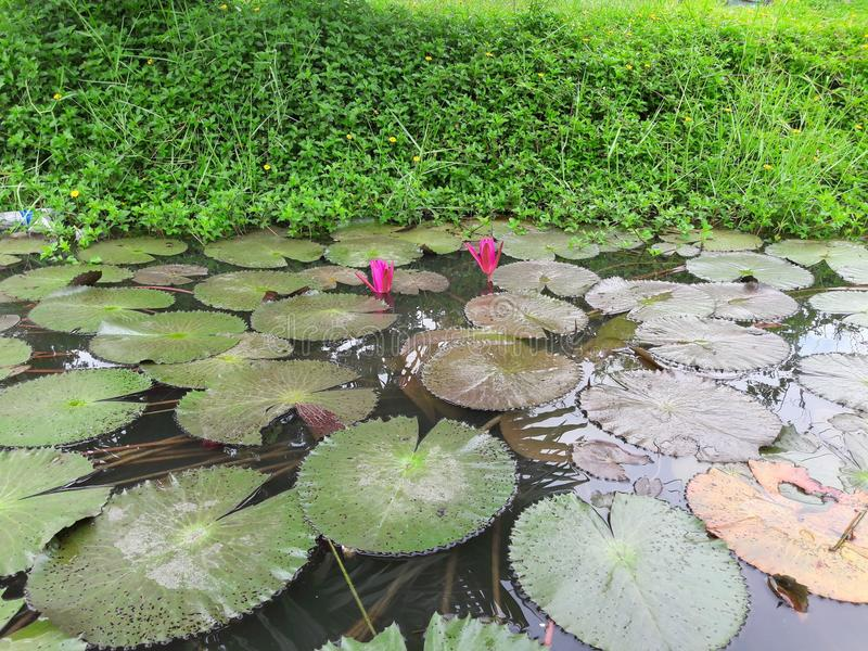 Pink lotus and green leaves in a pond stock photos