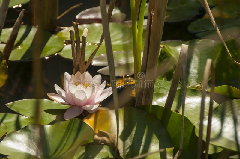 Pink lotus in a green pond. Pink water lily among dry reeds. Beautiful water flower. royalty free stock photos
