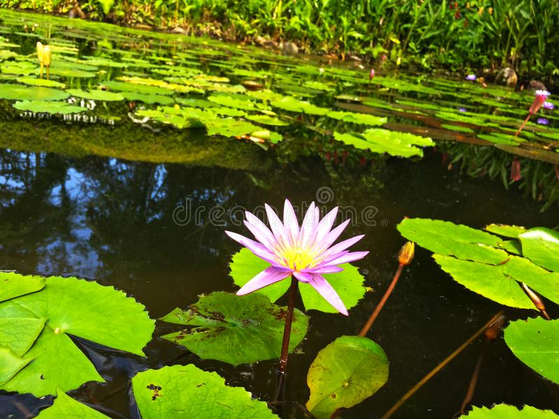 Pink lotus on the pond. stock photography