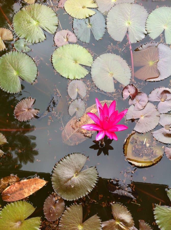 Free Pink Lotus In Pond Royalty Free Stock Photo - 46829565