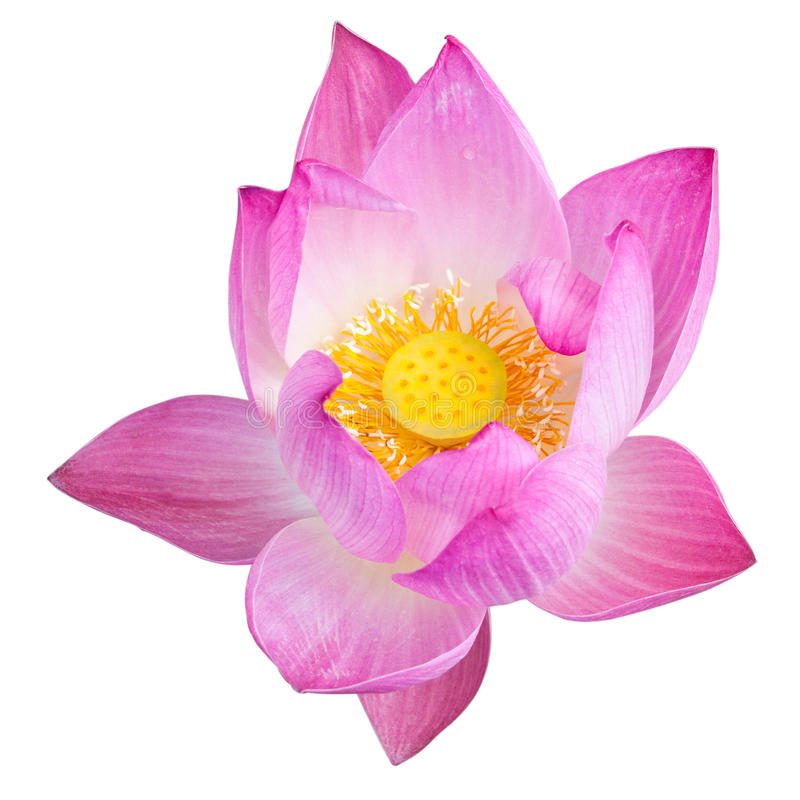 Pink Lotus isolated on white stock images
