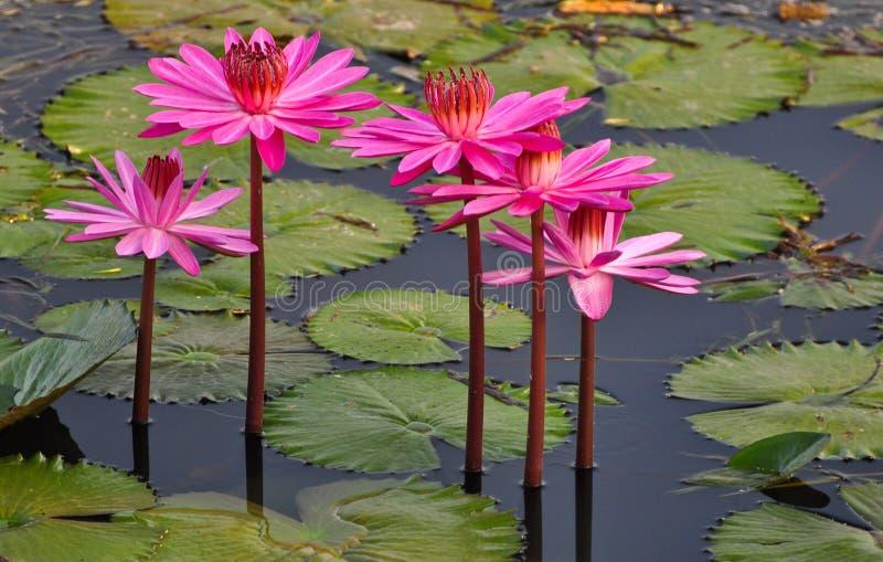 Pink Lotus in a lake stock photos