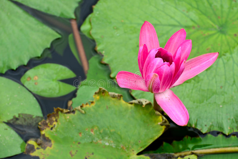 Pink Lotus in a lake. Collection of real pink Lotus/Lillie in a lake stock photography