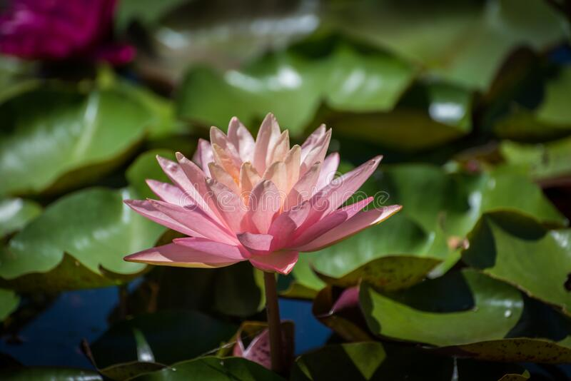 Pink lotus Nelumbo species royalty free stock image