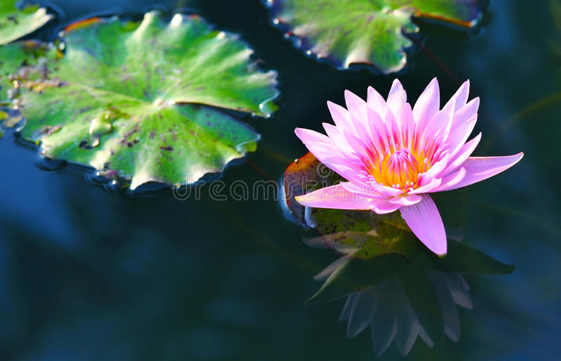 Pink lotus.Pink lotus blossoms or water lily flowers blooming on pond . stock photos