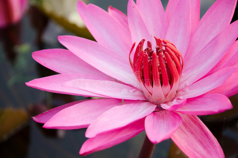 Download Pink lotus stock photo. Image of pond, leaf, beautiful - 37417560