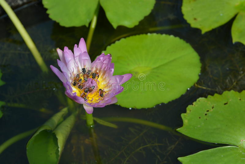 Download Pink lotus stock photo. Image of flowers, siam, water - 43990908