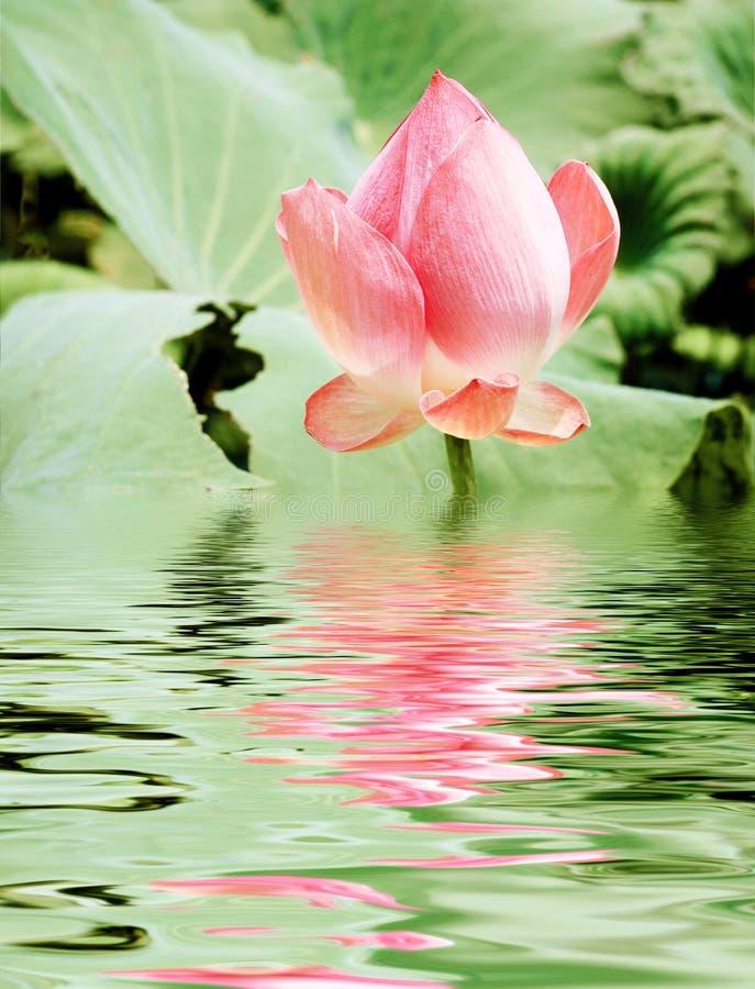 Pink lotusblomma royaltyfria bilder