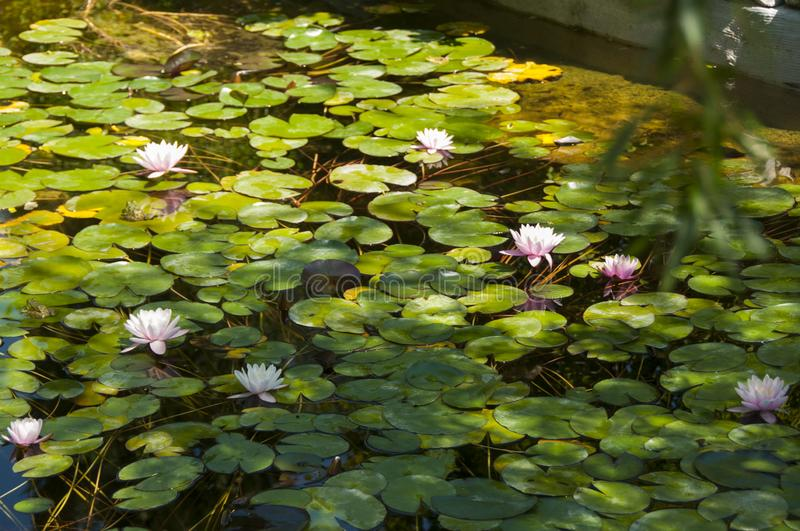 Pink lotuses in a green pond. Pink water lilies among green leaves. Beautiful water flower. Pink lotuses in a green pond. Pink water lilies among green leaves royalty free stock photo