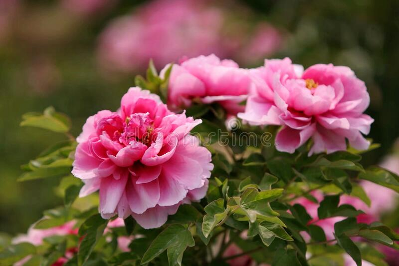 Pink Luoyang peony flowers royalty free stock photos