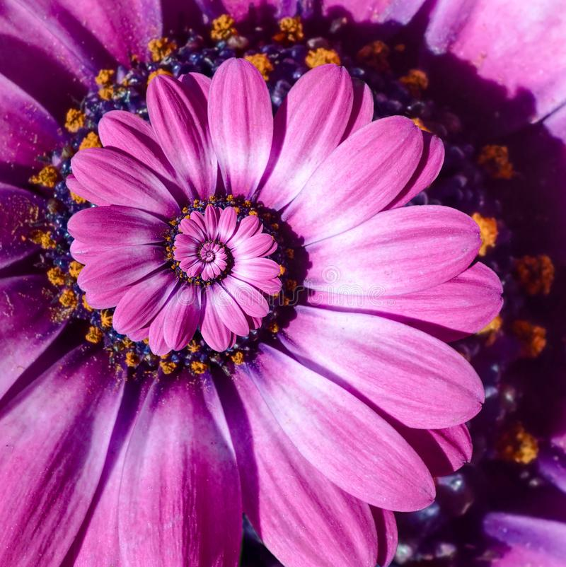 Pink magenta camomile daisy flower spiral abstract fractal effect pattern background. Floral spiral abstract pattern fractal royalty free stock photo