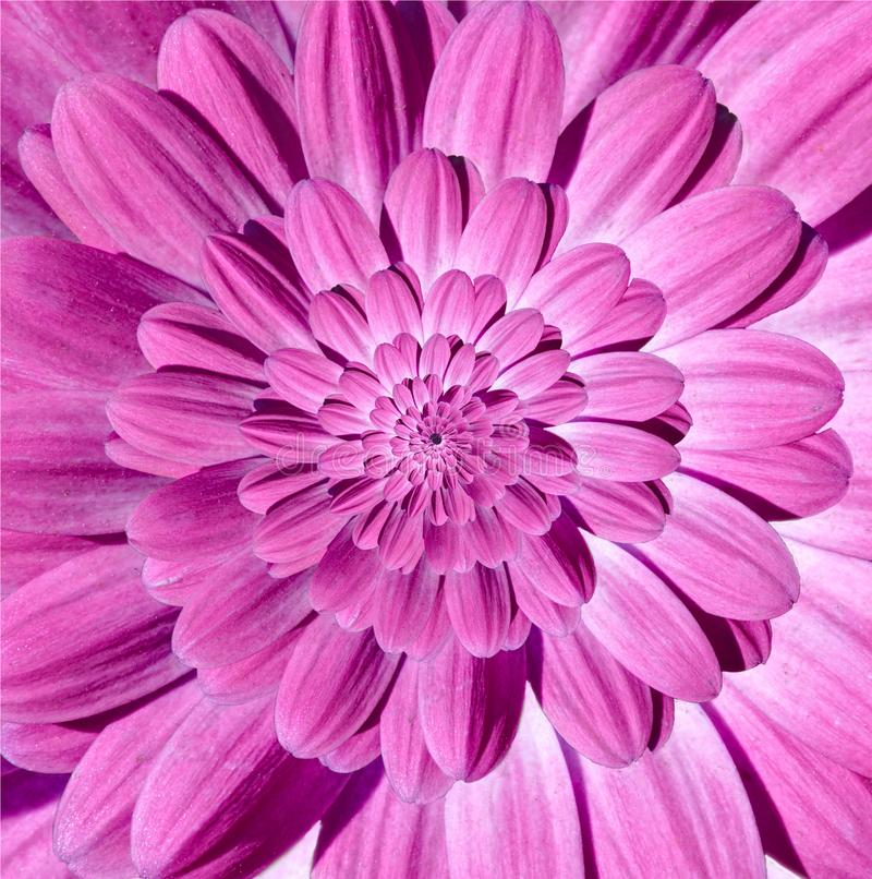 Pink magenta camomile daisy flower spiral petals abstract fractal effect pattern background. Floral spiral abstract pattern swirl royalty free stock photography
