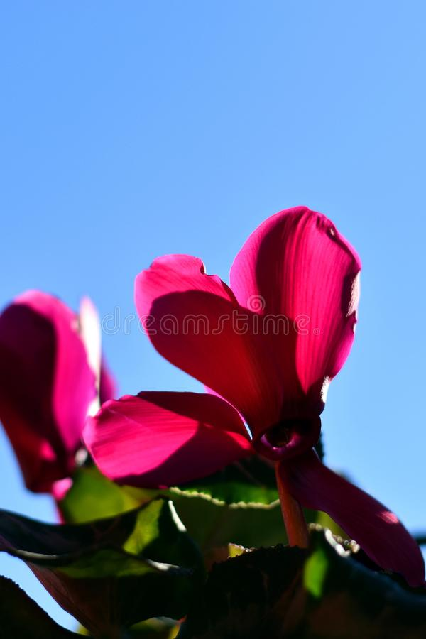 Pink cyclamen flower on the blue sky background royalty free stock images