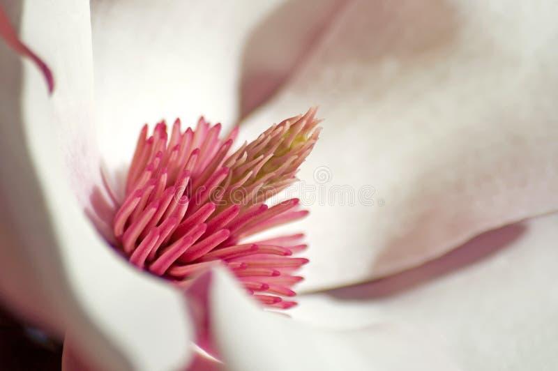 Download Pink Magnolia Stock Photos - Image: 507223