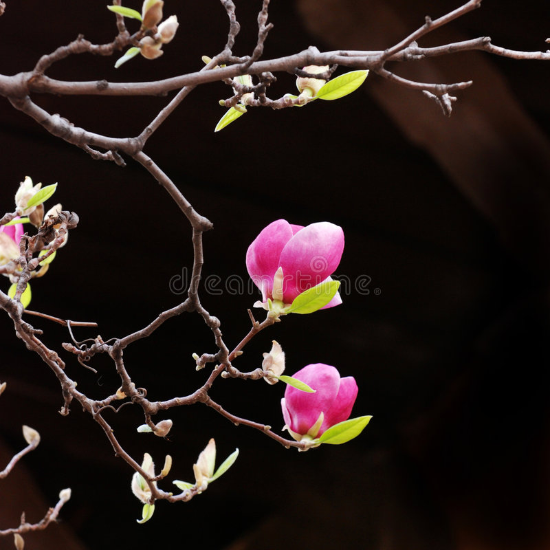 Pink Magnolia Blooms. On a sparse branch, against a dark background royalty free stock photography