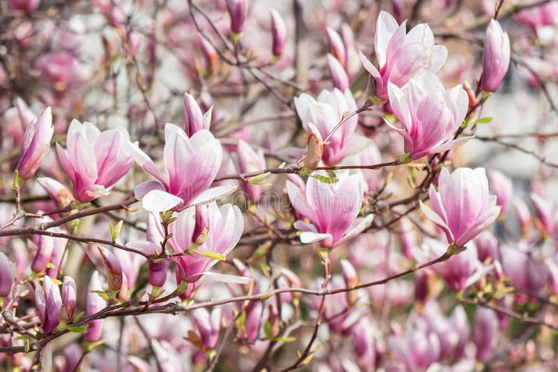 Pink magnolia blossom royalty free stock image