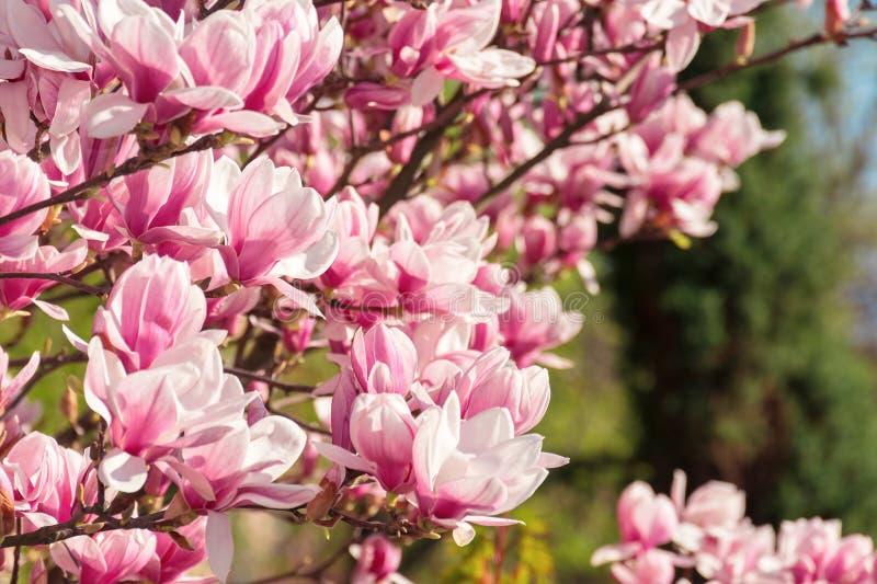 Pink magnolia blossom stock photos