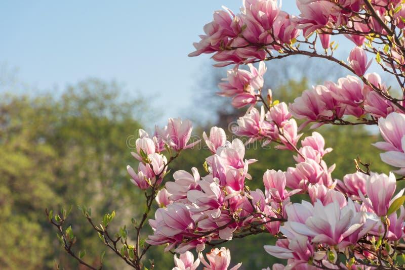 Pink magnolia blossom stock photography