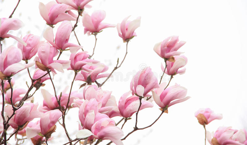 Pink magnolia blossom on white background royalty free stock photography