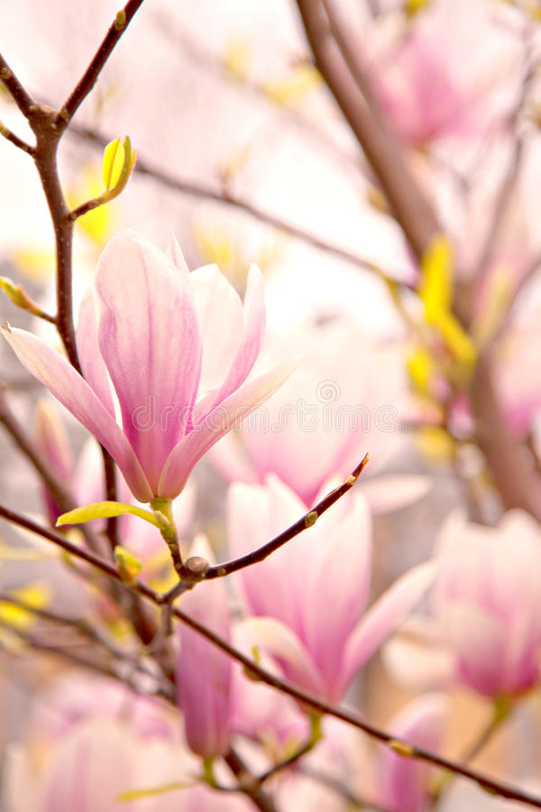 Pink magnolia blossoms royalty free stock images