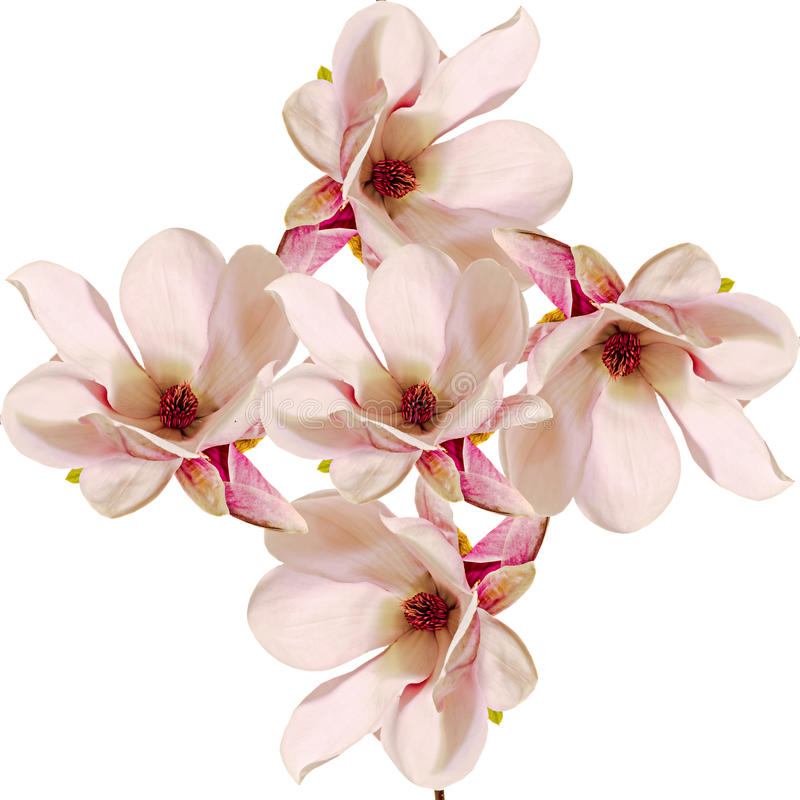 Free Pink Magnolia Branch Flowers, Close Up, Floral Arrangement, Isolated Stock Image - 57224271