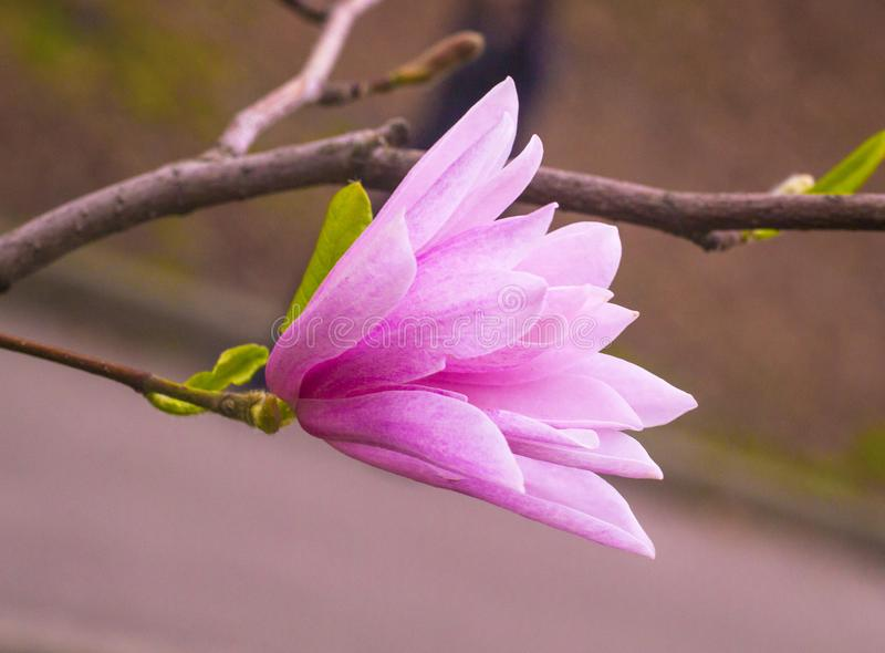 Pink magnolia flower. Flowering magnolia sprig stock photo