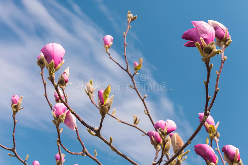 Pink magnolia flowers. Blooming magnolia tree in the spring against blue sky. Pink magnolia flowers. Blooming magnolia tree in the spring against blue sky royalty free stock photos