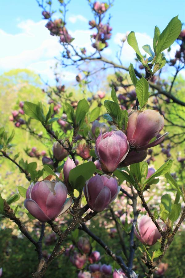 Pink magnolia flowers stock photography