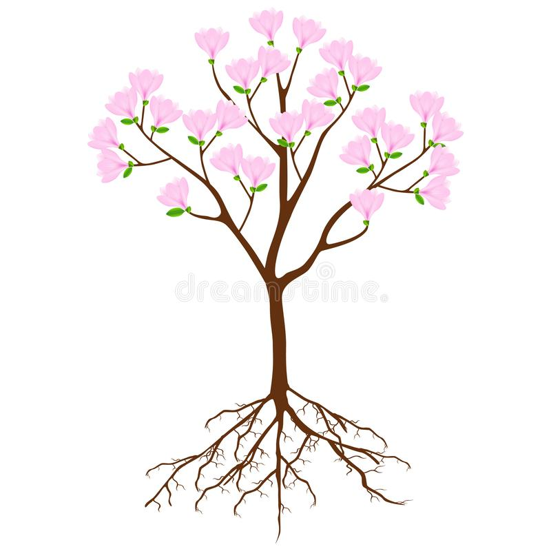 Magnolia tree with pink flowers and roots on a white background. royalty free illustration
