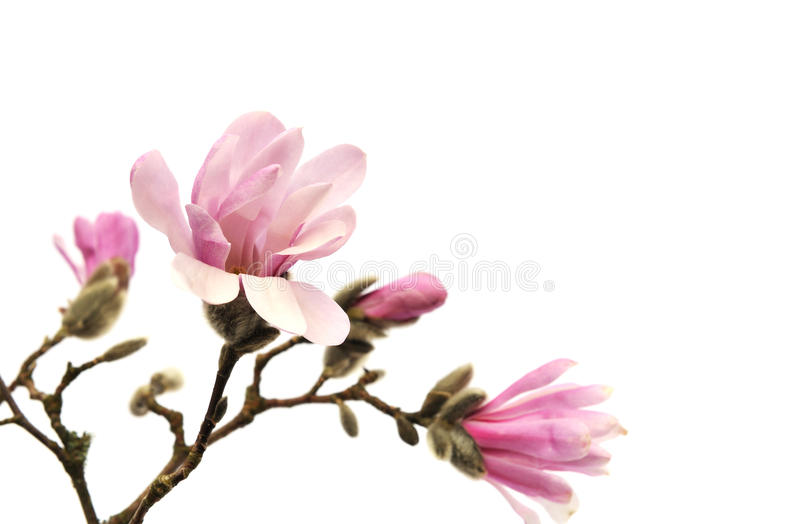 Pink magnolia flowers isolated on white stock images