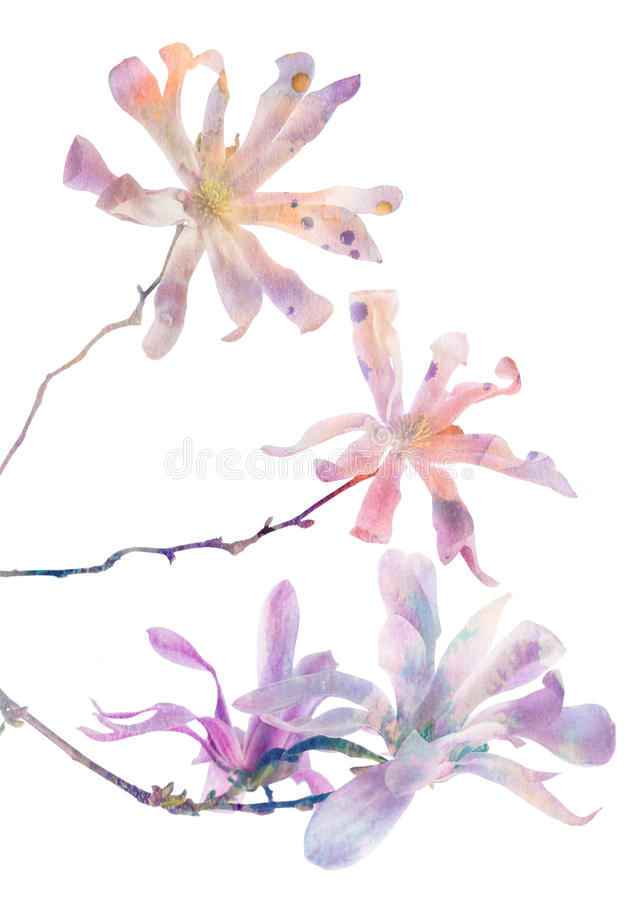 Pink magnolia flowers with watercolors texture royalty free stock photo