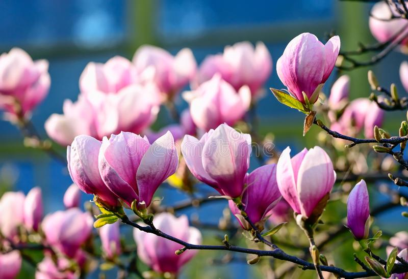 Pink magnolia tree in spring time close up with blue background. Nature stock photography