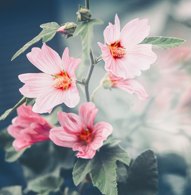 Pink mallow flowers outdoor summer nature royalty free stock photography