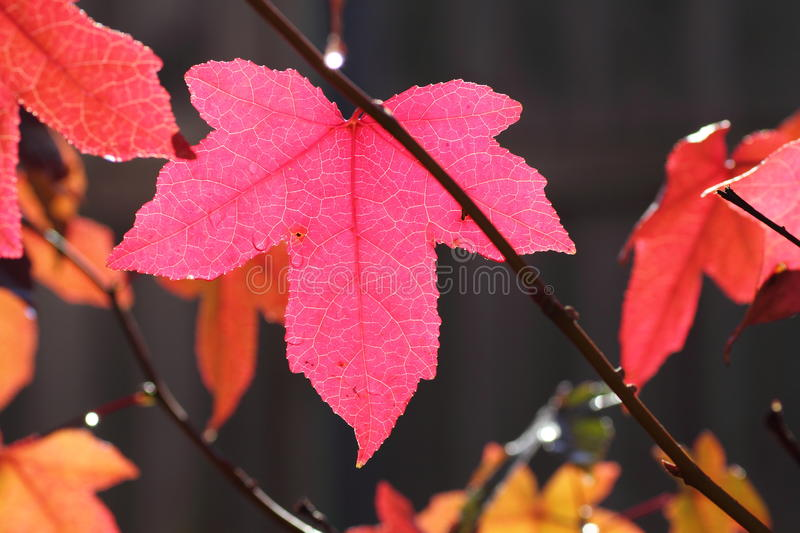 Download Pink fall leaf maple tree stock photo. Image of coloured - 24688790