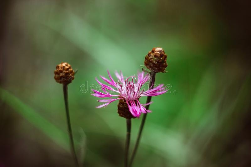 Pink meadow cornflower on a bright green blurred background. Meadow flower brown knapweed with brown buds. On a Sunny summer day. stock photos