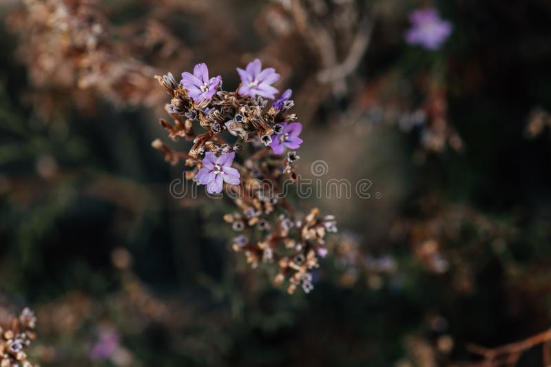 Pink Mediterranean wild flowers, endangered protected area, sea coast plant species. French Riviera, Sentier du Littoral, Antibes stock photo