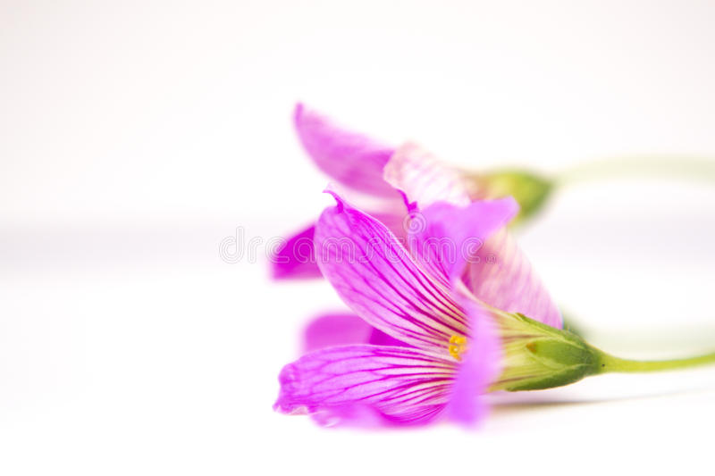 Pink in the midle of withe. A beautiful flower consumed by white light softening the senses royalty free stock image