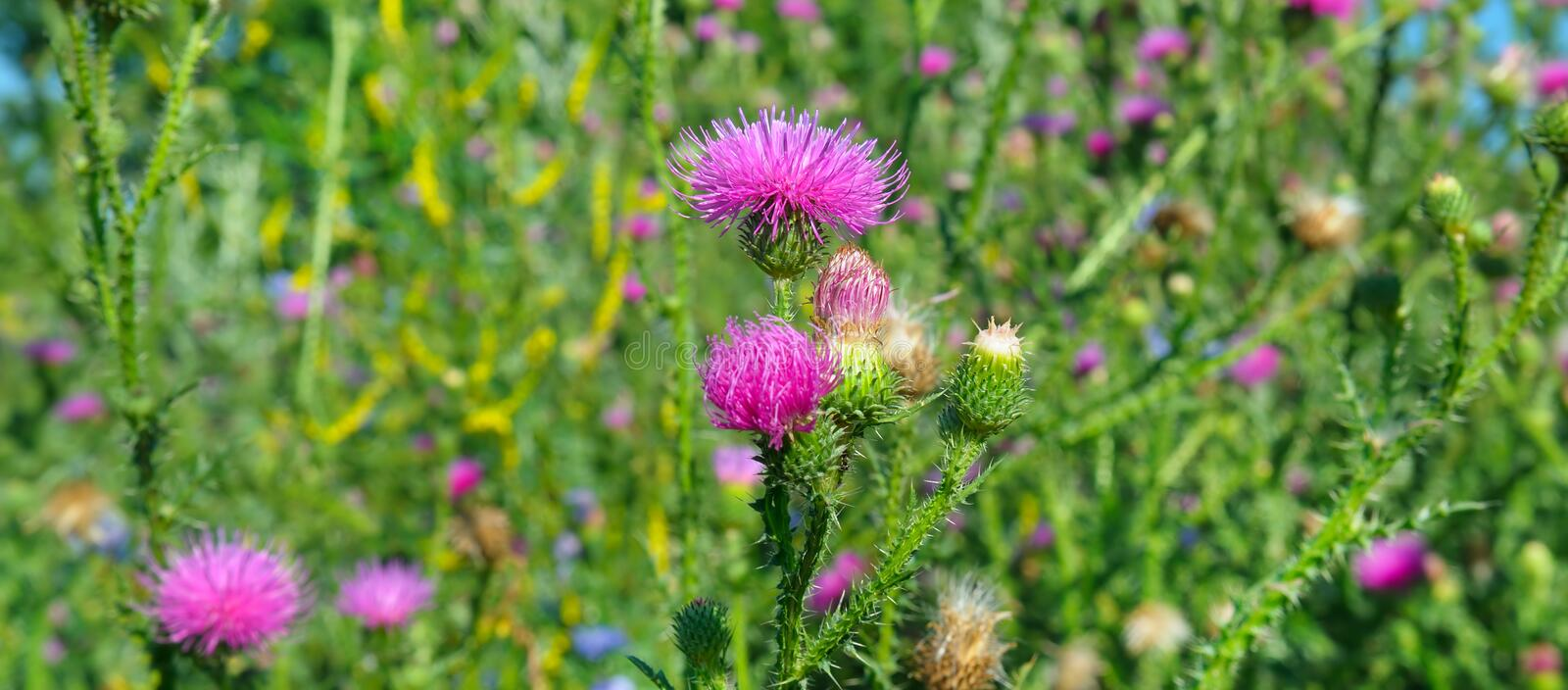 Pink milk thistle flower in bloom in summer morning. Wide photo. Pink milk thistle flower in bloom in summer morning. Medical plants. Wide photo royalty free stock images