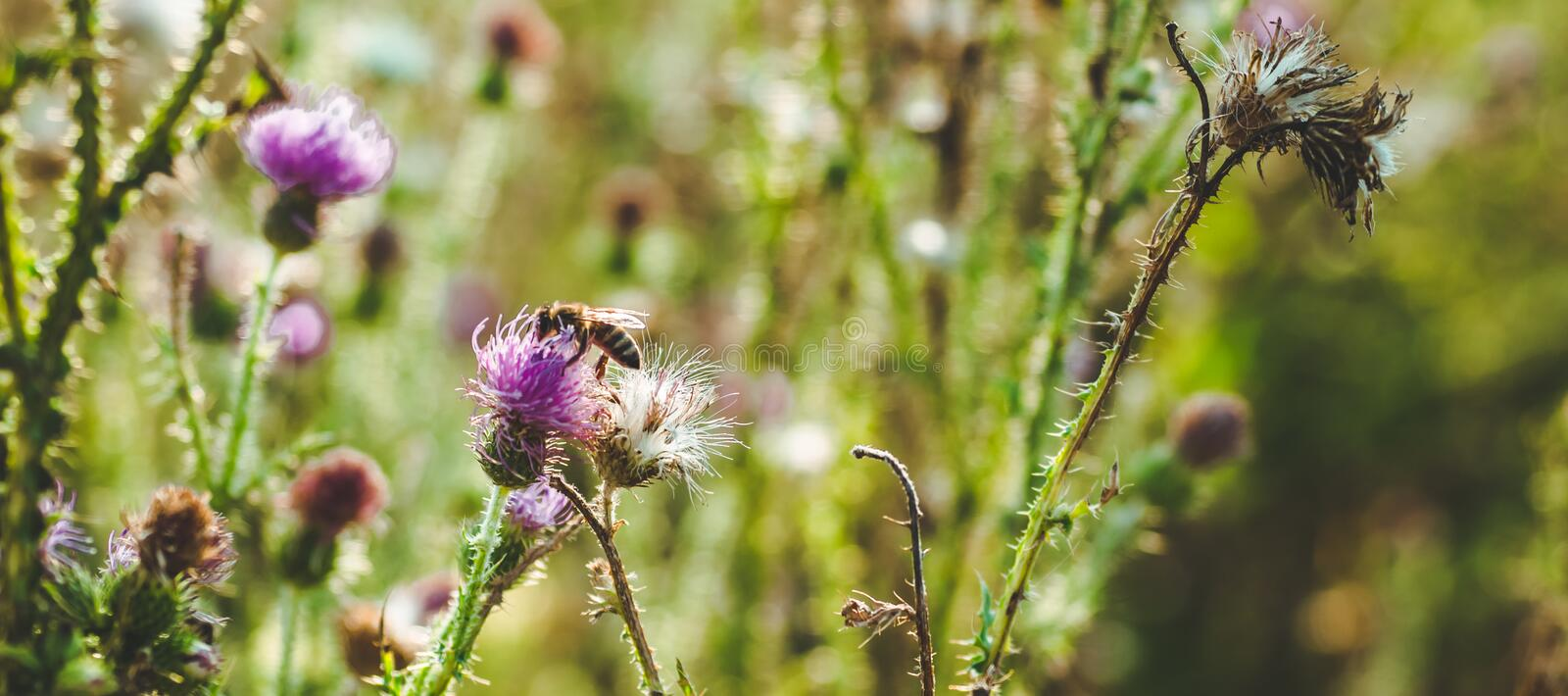Pink milk thistle flowers in wild natur with bee collecting pollen, Silybum marianum herbal remedy, Saint Mary`s Thistle royalty free stock photo