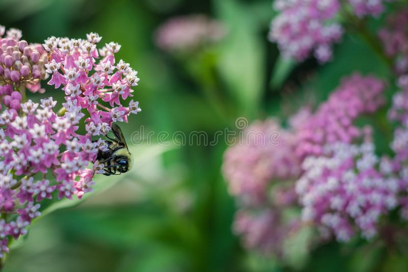 Bumblebee, Bombus, feeds on pink swamp milkweed, Asclepias incarnata, on a summer morning. Pink milkweed, Asclepias, on a summer morning, vital for Monarch royalty free stock photography