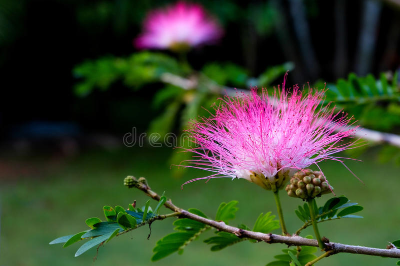 Pink Mimosa flowers stock image