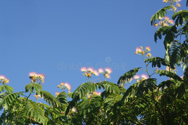 Pink Mimosa Tree flowers against a blue sky. Pink Mimosa Tree flowers and green foliage against a blue sky stock photo